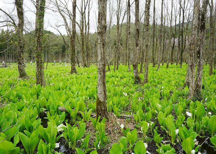 刺巻湿原ミズバショウ群生地