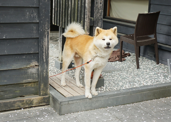 角館の秋田犬